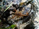 Escorpión o Alacrán