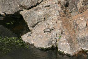 Galápago leproso