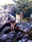 Muflones siempre de roca en roca